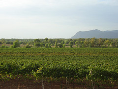 View of some Sardinian vineyard